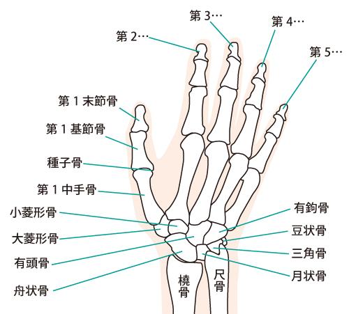 手の関節のイラスト